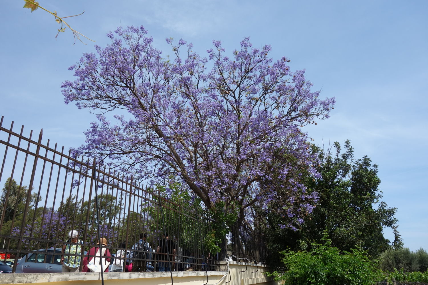 The beautiful Jacaranda tree at the entrance of Knossos, Heralkion, Crete